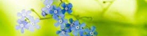 cropped-forget-me-nots.jpg